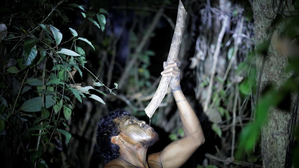 Paulo Paulino Guajajara bebiendo agua de un árbol en el bosque amazónico.