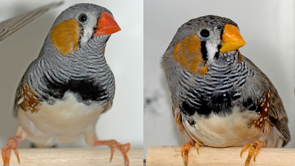 red and yellow-beaked zebra finches