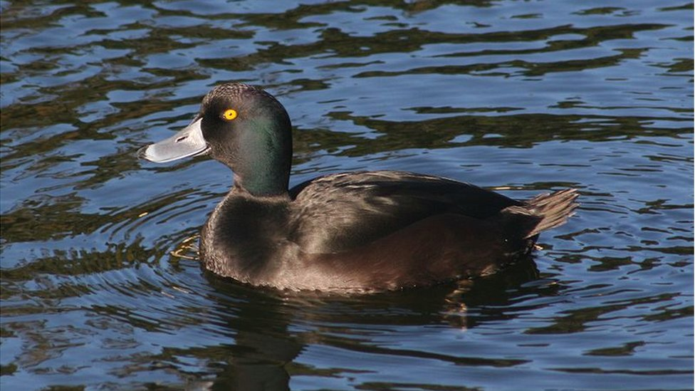 The New Zealand Scaup (or papango)