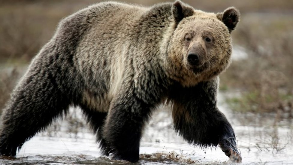 A grizzly bear in Yellowstone National Park. File photo