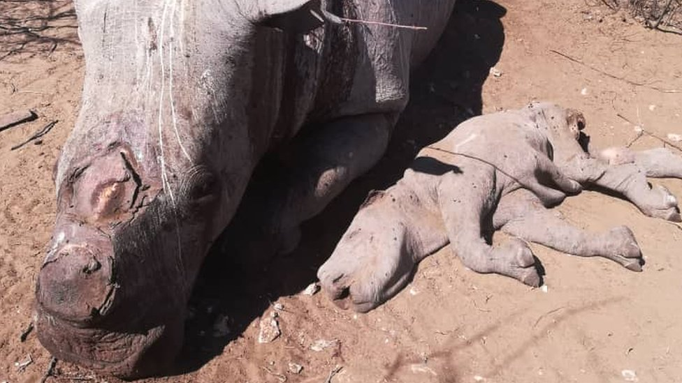 Two dead rhinos, one a calf, in Botswana