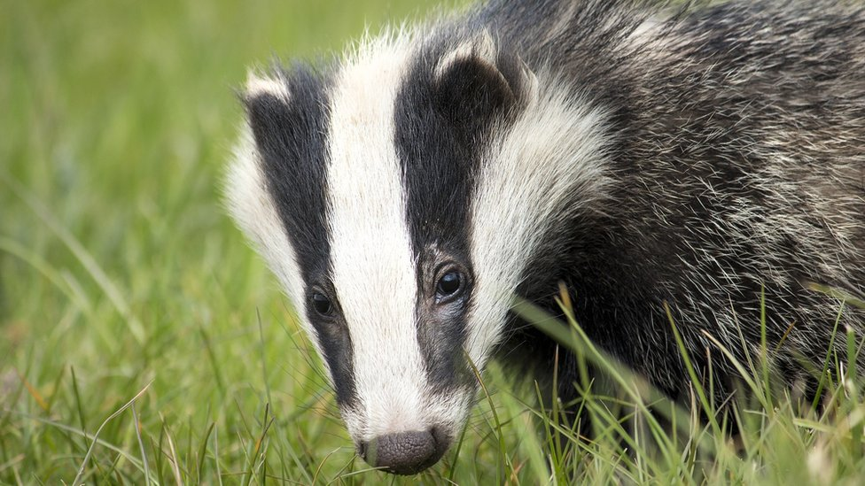 Badger cull: Policing cost £3m in 2018