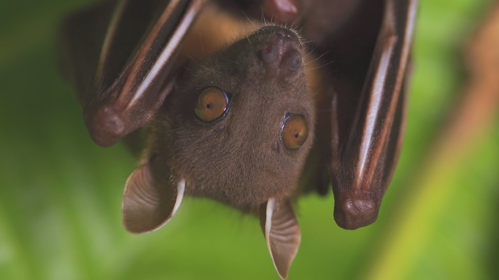 Short-nosed fruit bat, Thailand