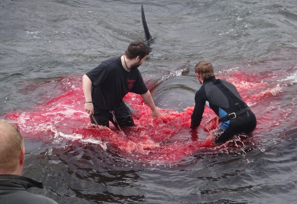 Inhabitants of the Faroe Islands go whaling in the bay in Sandavágur