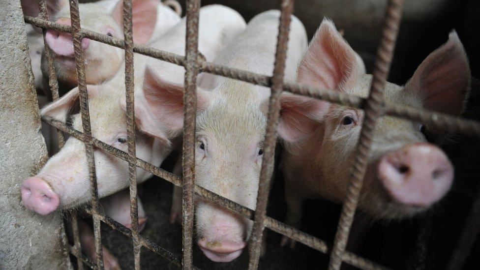 Cerdos en China