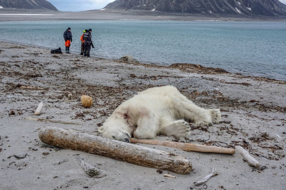 A polar bear pictured after it was shot dead in Svalbard