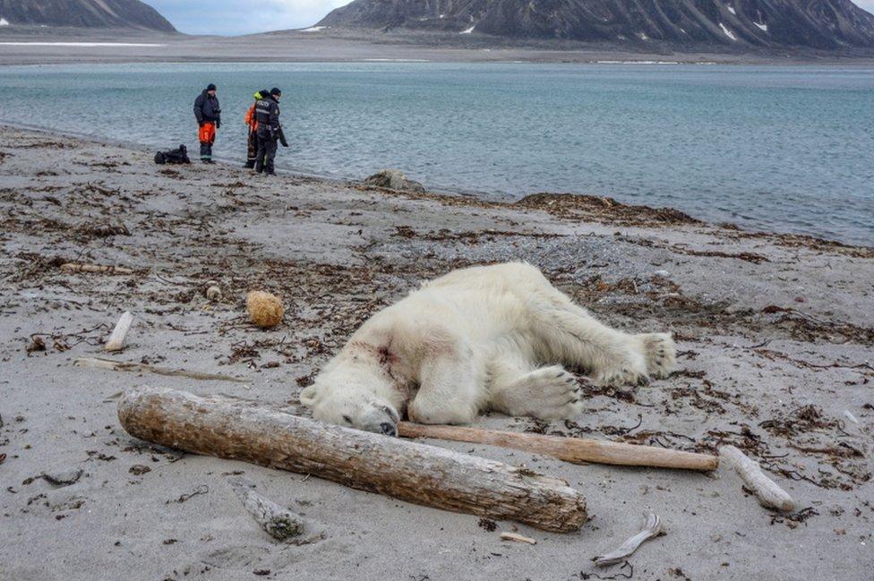 Un oso polar muerto en la costa de Svalbard.