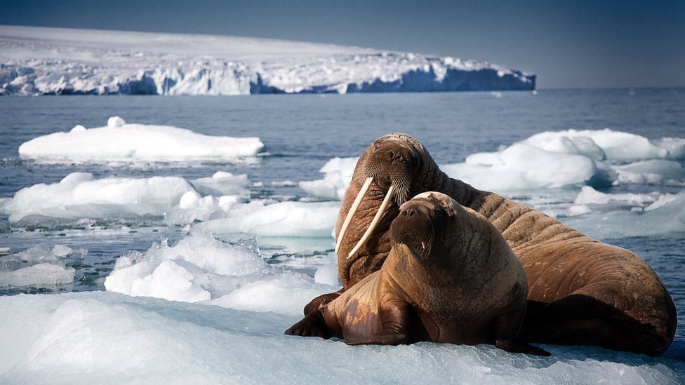 Walrus mother and pup resting on iceberg, Svalbard, Arctic