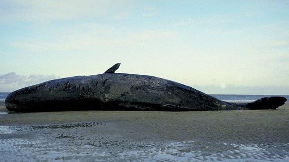 baleia morta numa praia