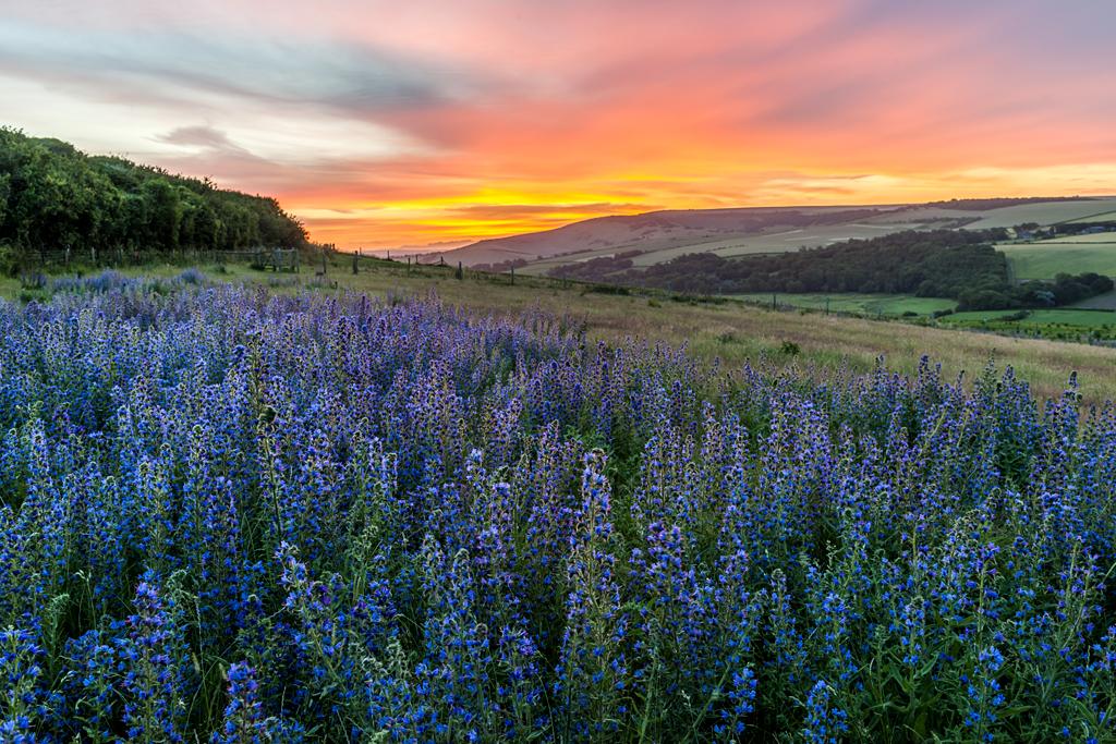 Viper's Bugloss at Sunrise by John Glover