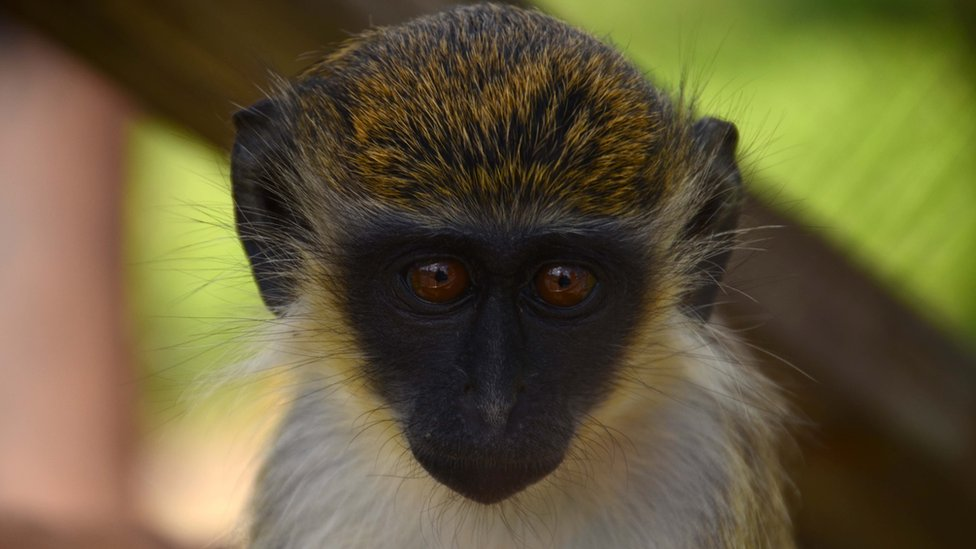 Обезьянья проблема: очаровательные мартышки на Сент-Китс объедают местных жителей