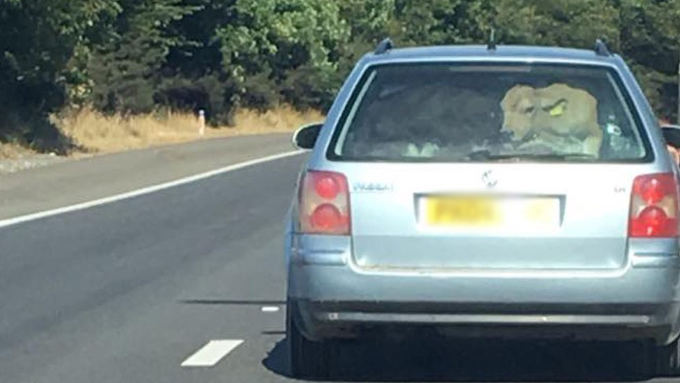 M4 driver of 'cow in car' found by police