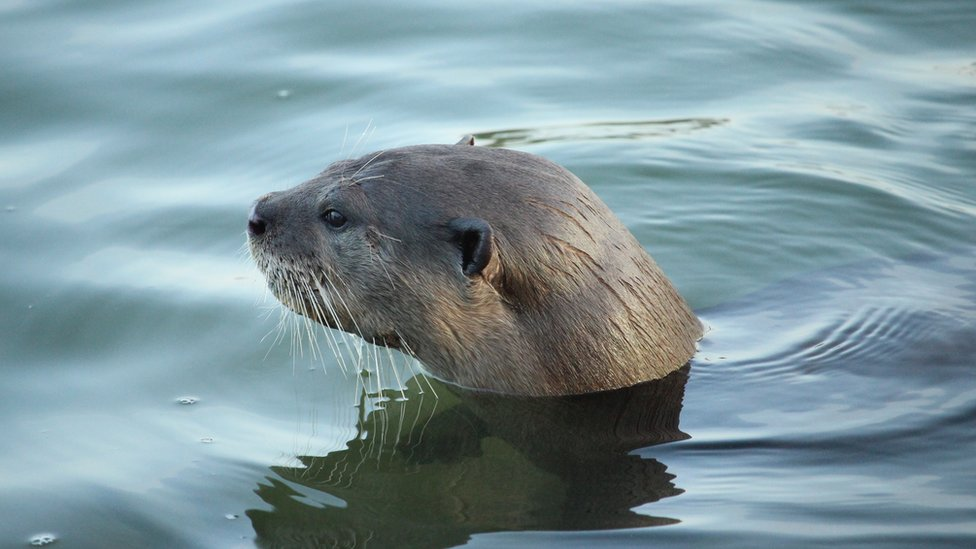 An otter pokes his head above the water - profile view