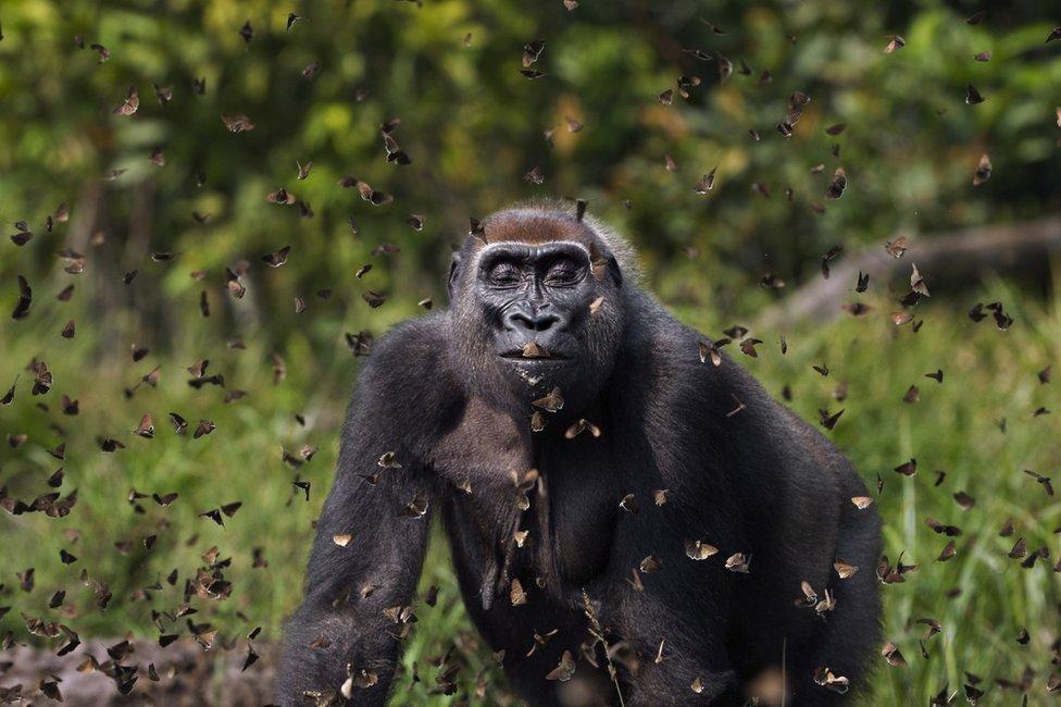 Gorila je zatvorila oči dok si leptiri leteli oko nje - uslikano u Centralnoafričkoj Republici
