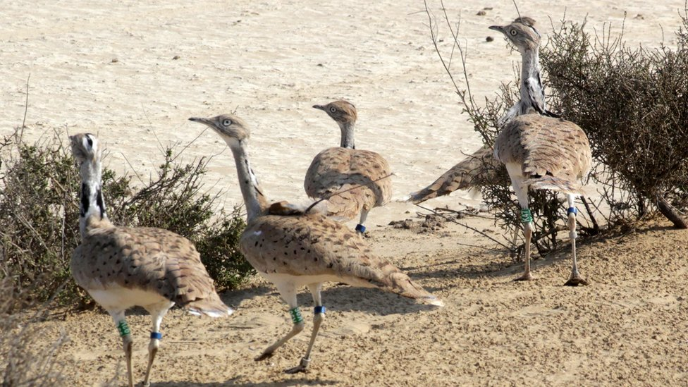 Houbara bustards in the Lal Shanra national park area near Bahawalpur in southern Punjab being released into the wild by Houbara Foundation International
