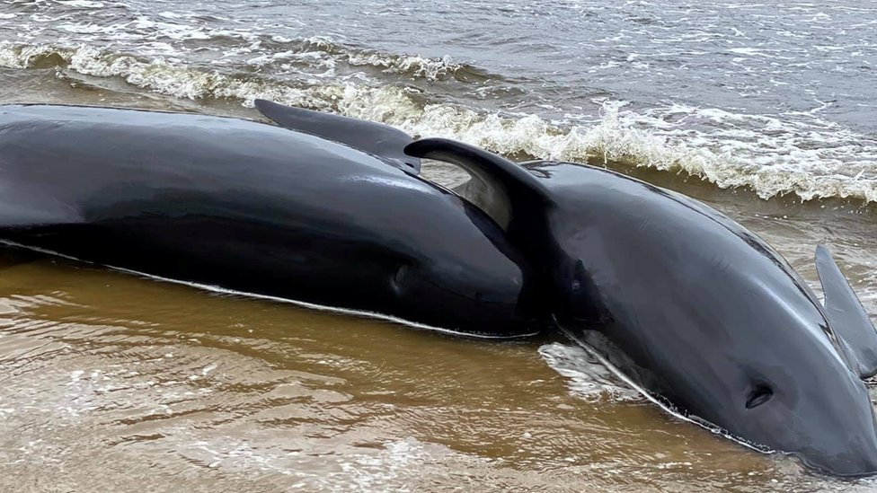 Dead pilot whale calves on the beach in Macquarie Heads