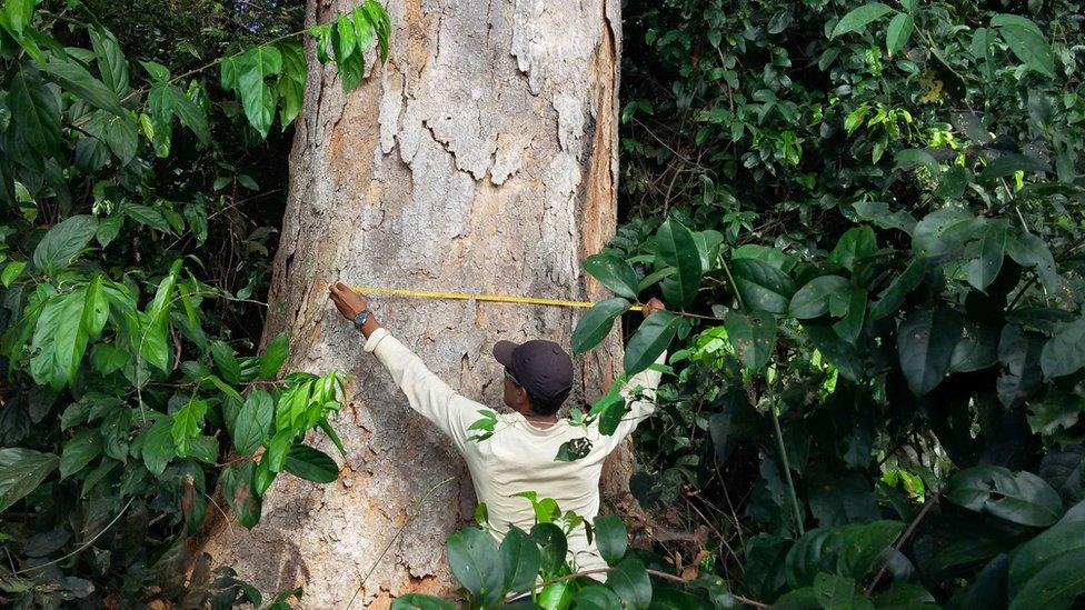 Lebar pohon di hutan Amazon