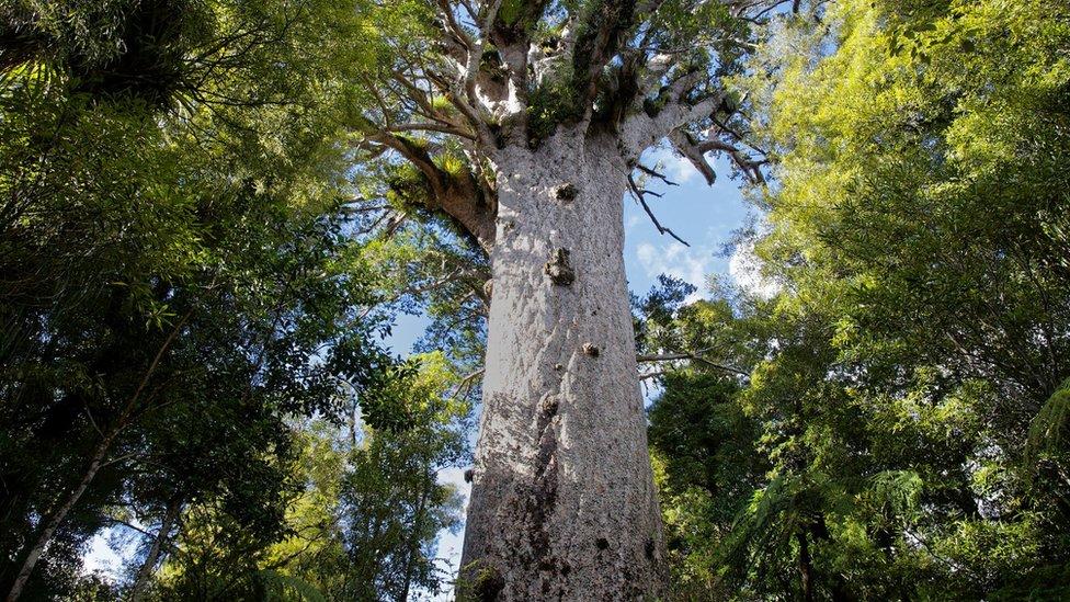 árboles kauri de Nueva Zelanda