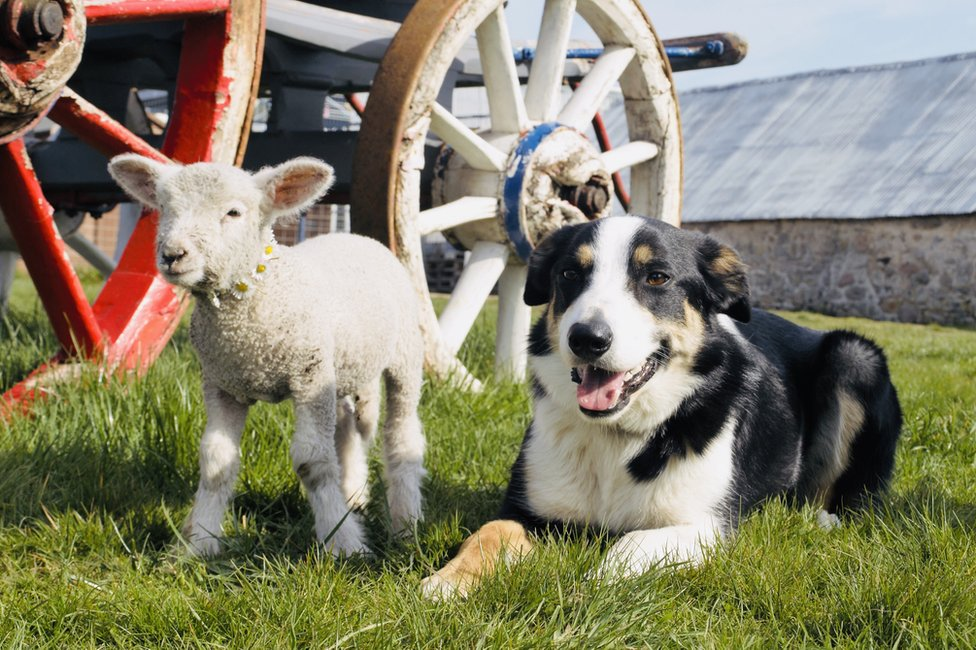 Tiny Tim and Dan the collie photographed by Ellie Comins at Elchies Farm.