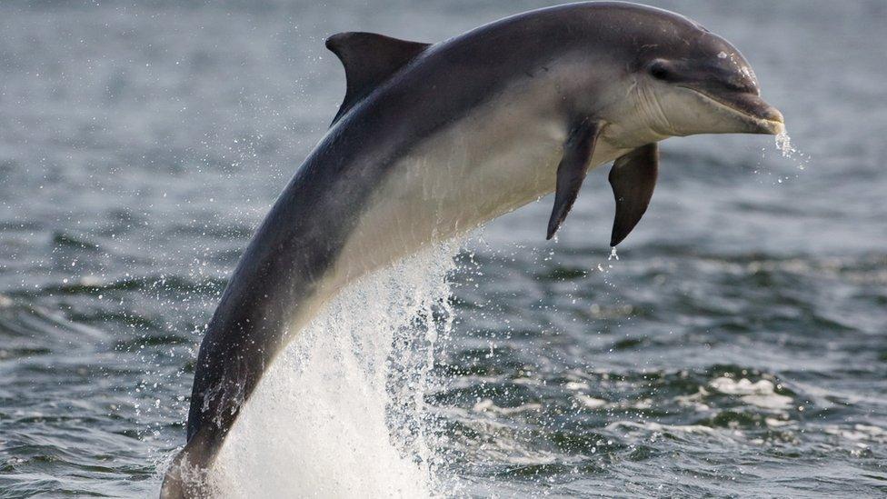 Дельфін-афаліна