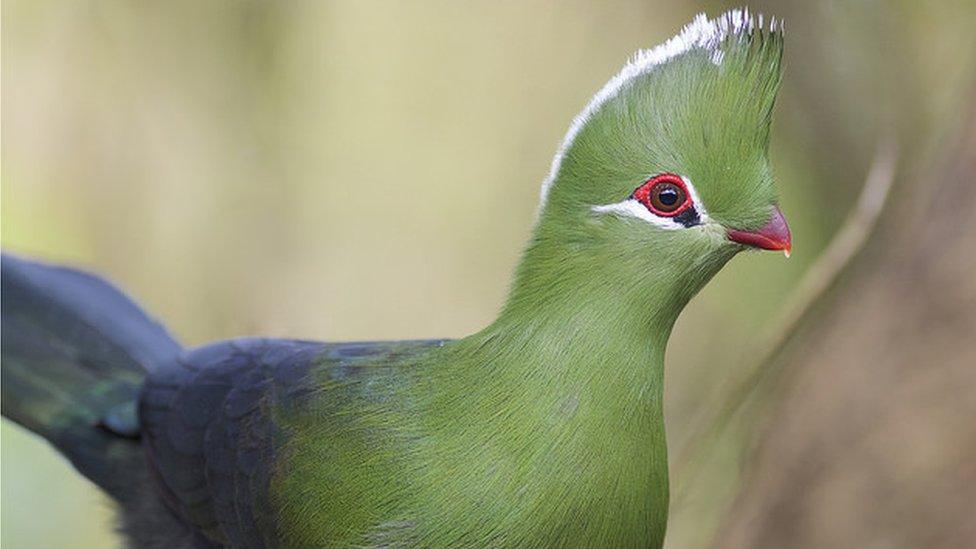 Knysna Turaco (Tauraco corythaix), Wilderness, Western Cape, South Africa
