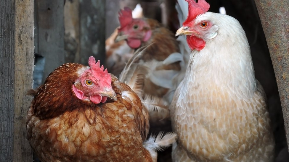 Bird flu risk prompts poultry restrictions in Wales - BBC News