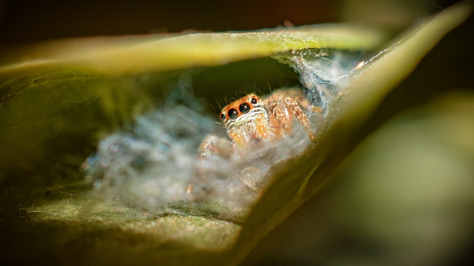 A spider emerging from a leaf