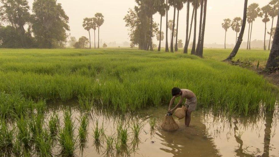 Una platanción de arroz