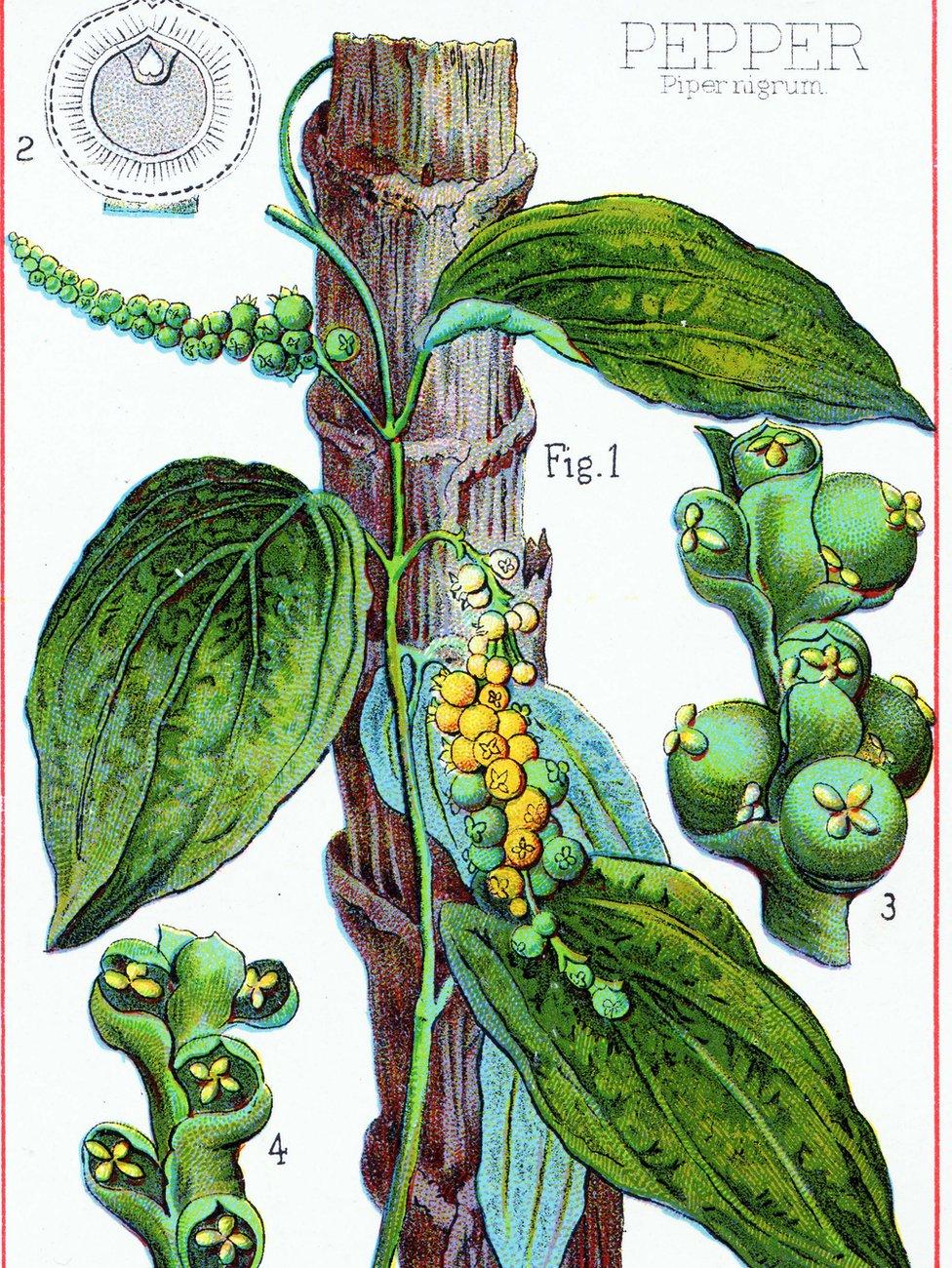 Dibujo de la planta de pimienta