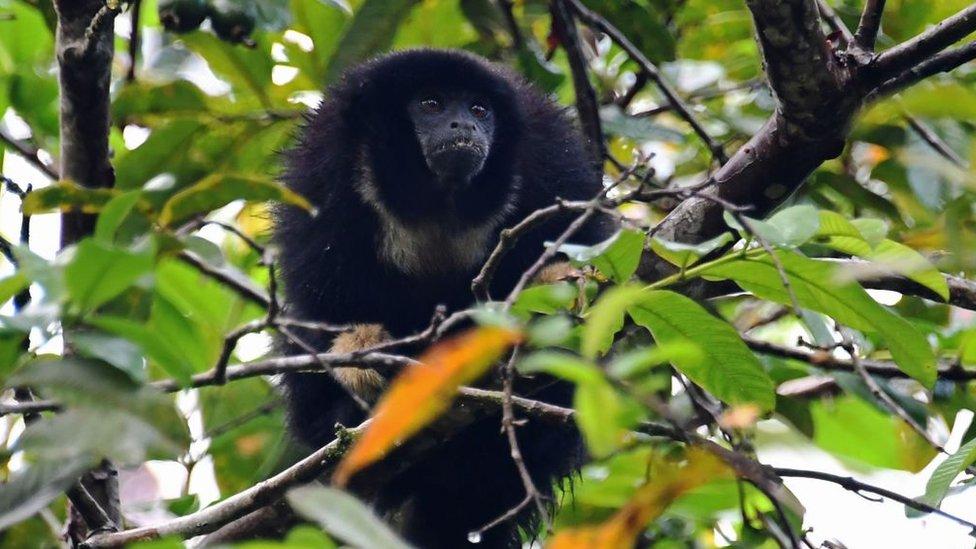 Monyet zogue zogue (Callicebus torquatus)