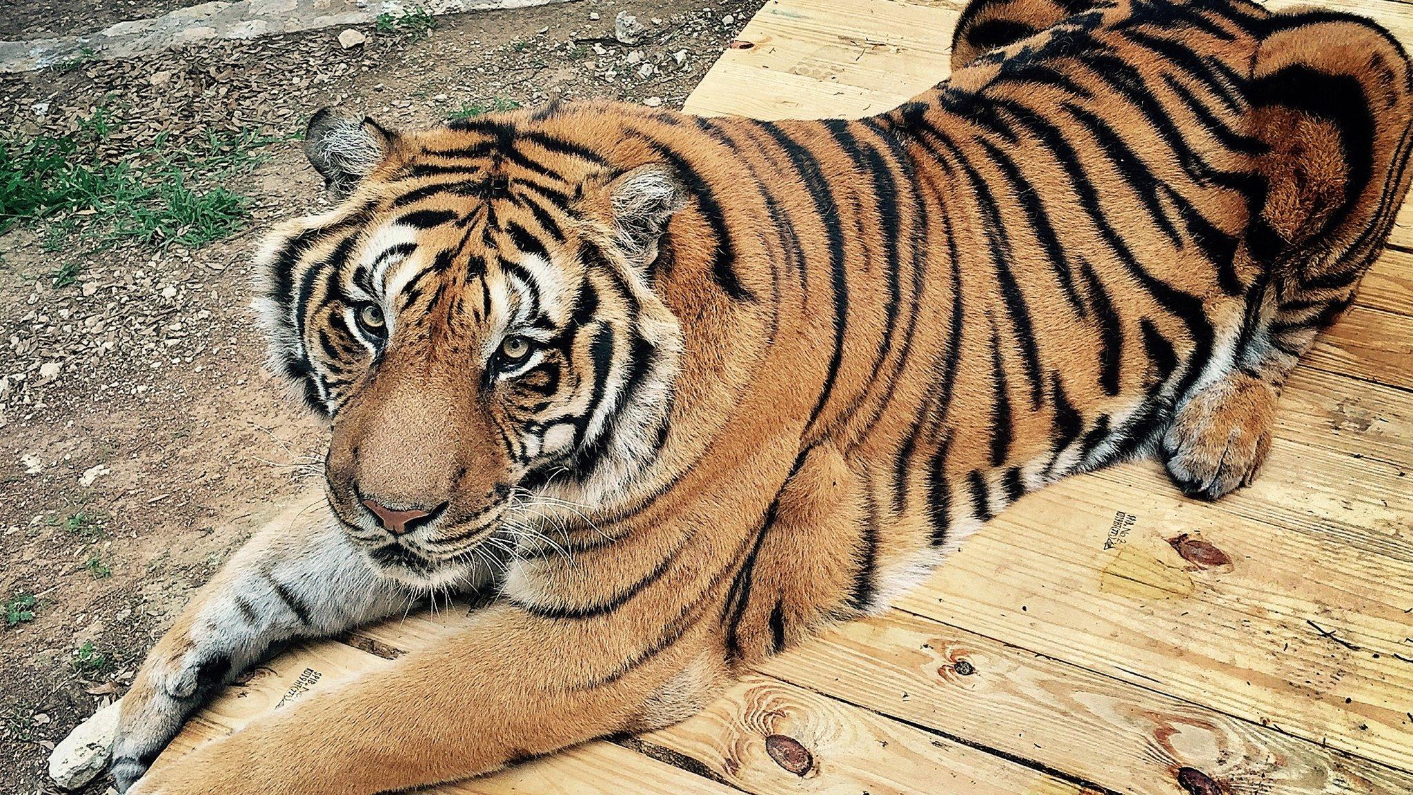 Taj the tiger at Austin Zoo