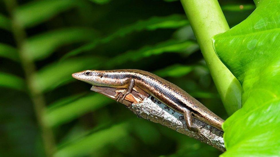 Reptil de las Seychelles