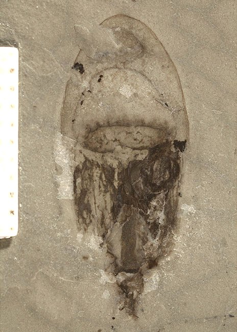 A jellyfish fossil from the site
