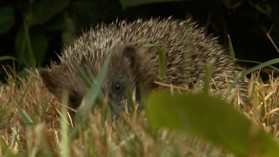 The hedgehog rescue centre run from home