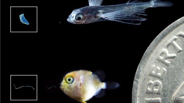 Crías de pez volador y pez ballesta con trozos de plástico que ingirieron