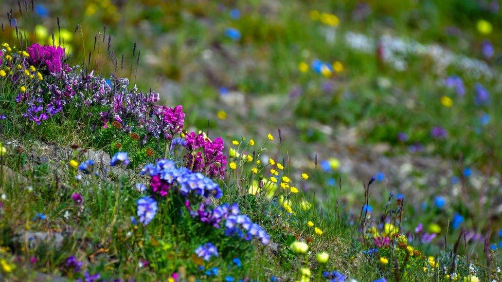 Flores en Isla Wrangel
