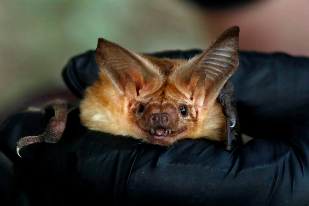 蝙蝠是一種哺乳動物,可以像鳥一樣鼓翼飛行,通常晝伏夜出。