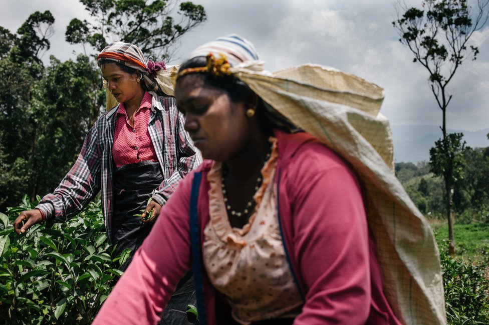 Two tea pluckers work on a plantation in Sri Lanka