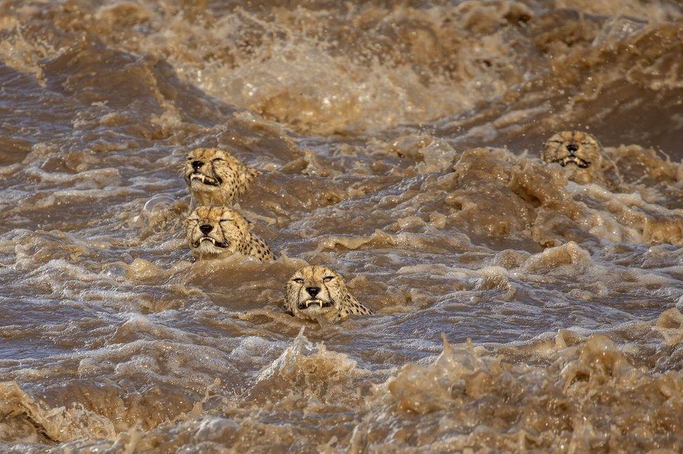 Mužjaci geparda plivaju u brzoj reci