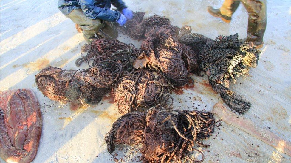 Red de pesca que se encontró en el estómago de la cachalote.