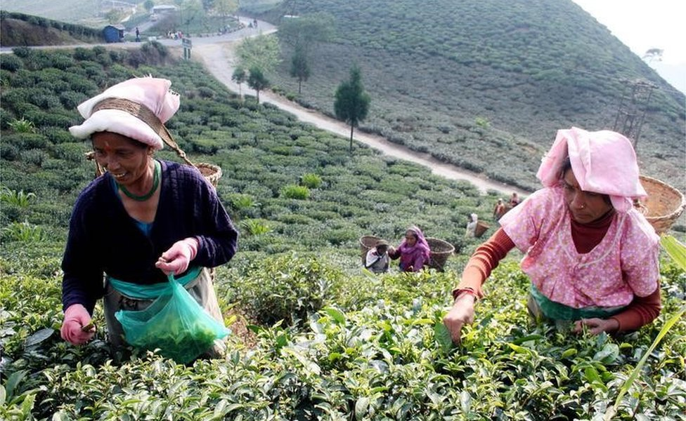 Indian Female Tea garden labourers pluck tea leafs at the Soureni Tea Garden near Mirik Hill some 49 Kms from Siliguri, 12 December 2007