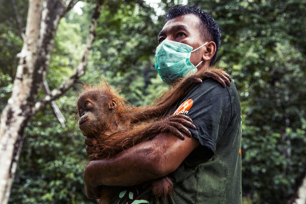 SOCP staff member holds the baby orangutan at the release site of Jan to whilst waiting for the mother to be brought round from the sedative.