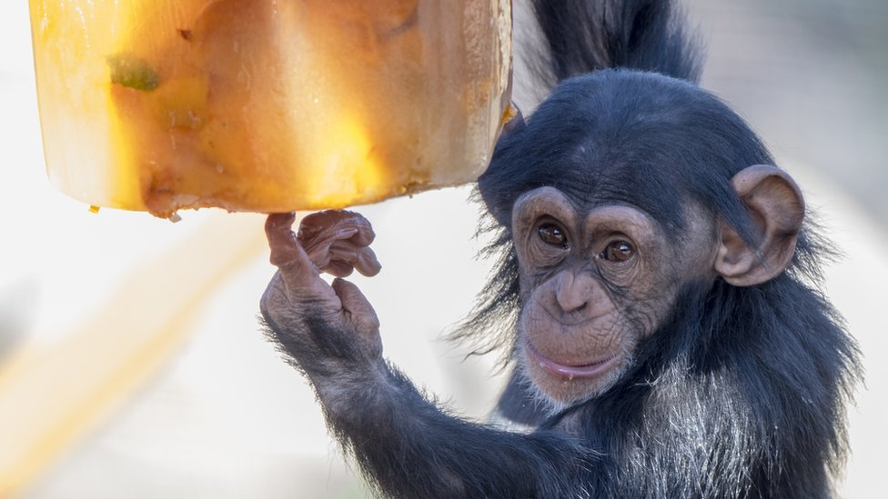 Enzi the baby chimpanzee about to eat an ice cake
