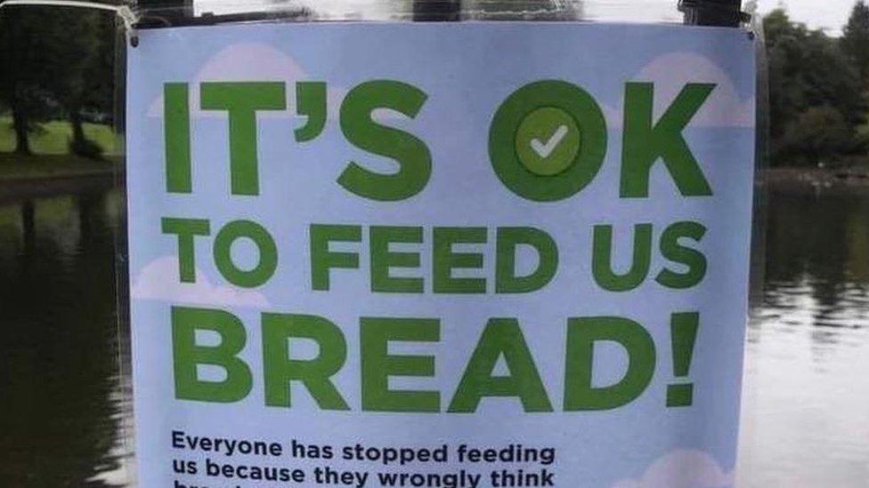 Годувати чи не годувати качок хлібом: думки розділилися