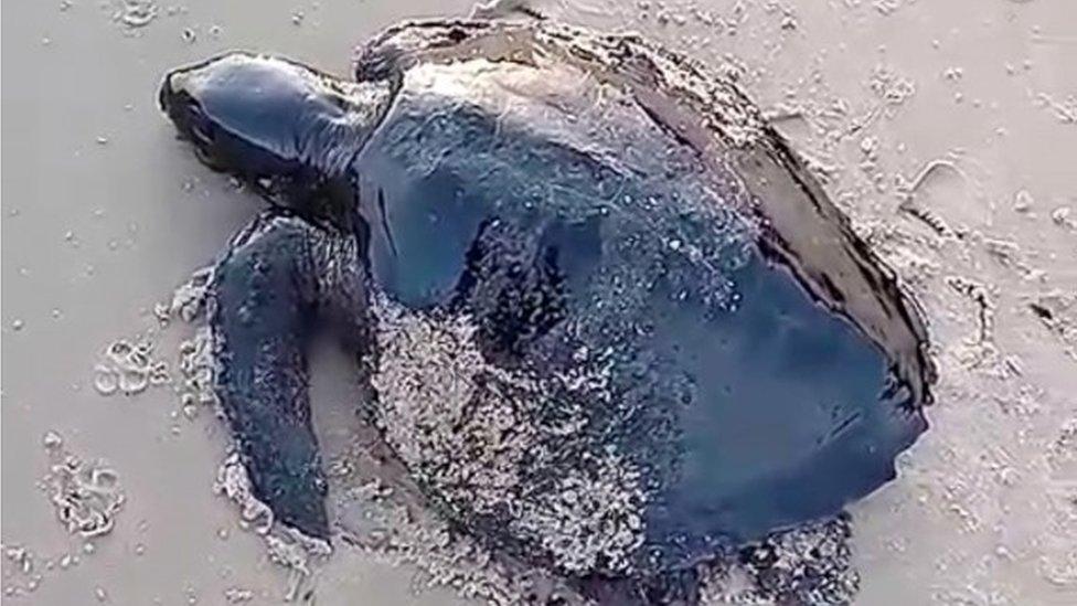 Una tortuga cubierta de petróleo en Brasil