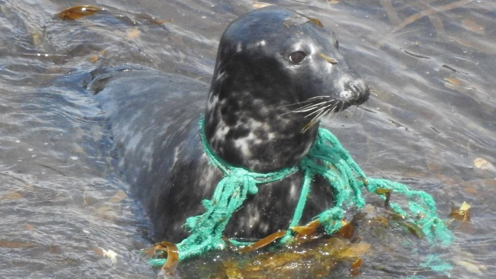 Search for Cornwall seal in trapped in trawler net