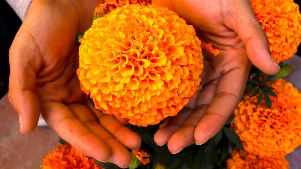 Manos sostienen una flor de cempasúchil