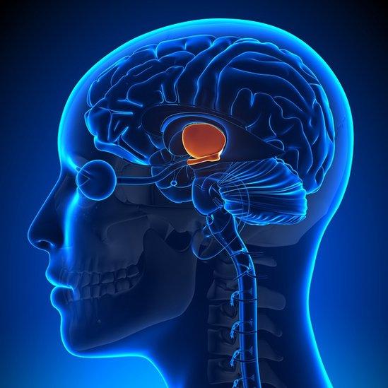 Imagen ilustrada del cerebro humano, mostrando la ubicación del hipotálamo.