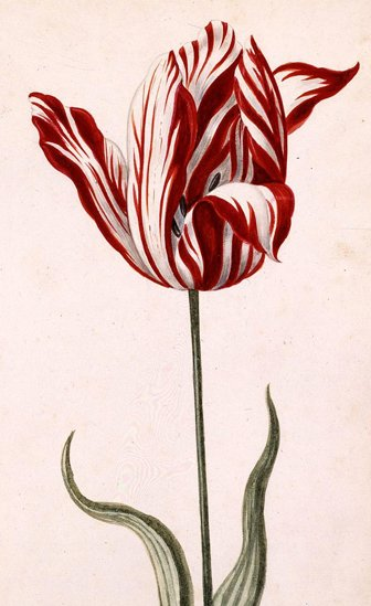 The Semper Augustus tulip
