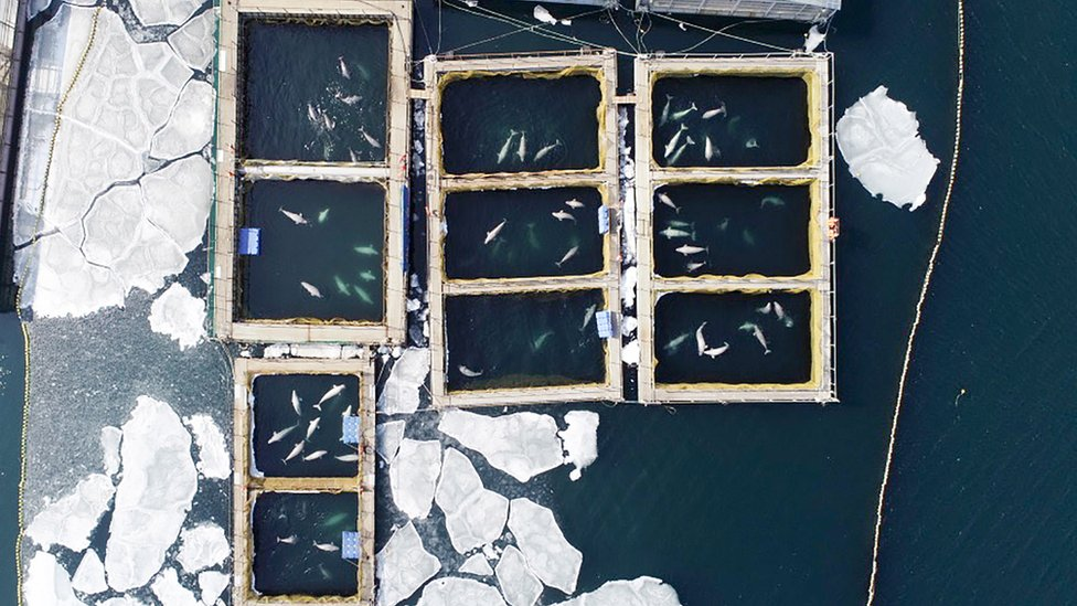 Whales kept in enclosures in the far east of Russia